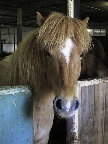 IMG_2982  Icelandic Horse